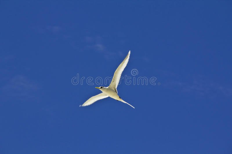 The seagull flying highly in the sky royalty free stock photo
