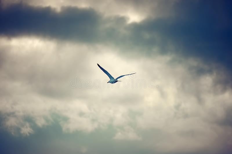 Seagull flying and hovering against a cloudy sky background stock images