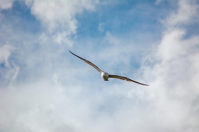 Seagull. This is a flying in Lhasa seagull, I'm behind the Potala Palace photographed it. It was in the high speed movement, I should not hesitate a moment to royalty free stock photos
