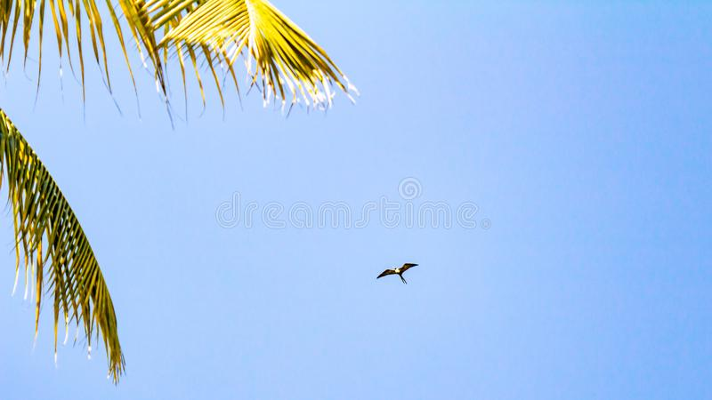 Seagull flying near the branches of a palm tree with a blue sky. Background, wonderful sunny day at the beach of Puerto Vallarta, Jalisco. Mexico stock image