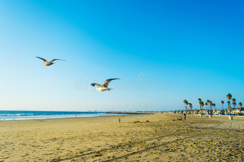 Seagull flying in Newport Beach. California royalty free stock photo
