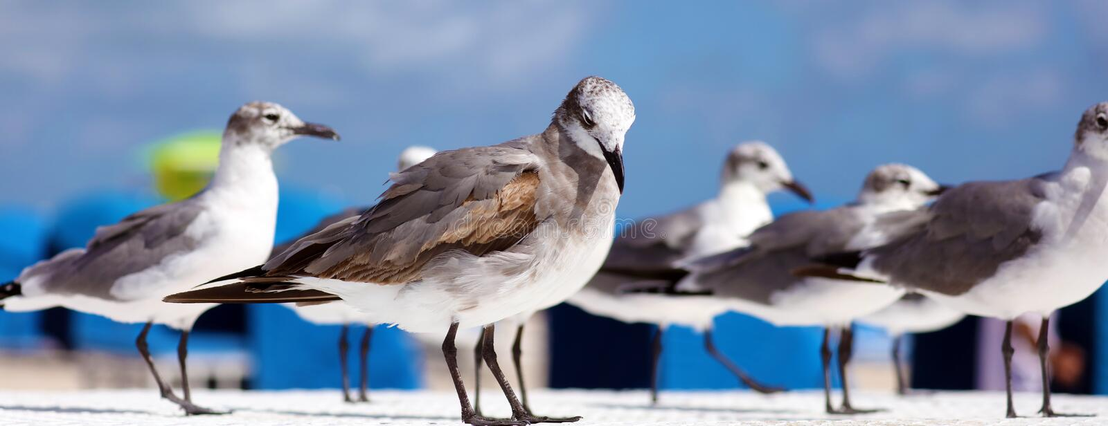 Group of Laughing gull Seagull in south Florida Miami beach. Seagull flying in ocean in south Florida Miami beach beautiful bird stock photos