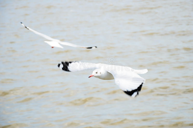 Seagull flying. stock photography
