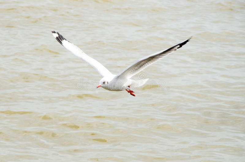 Seagull flying. stock photos