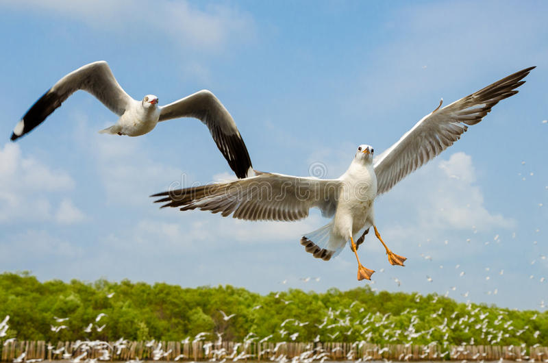 Seagull flying. royalty free stock images