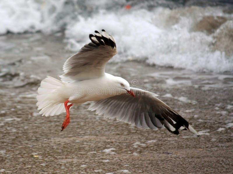 Seagull flying onto a beach stock photo