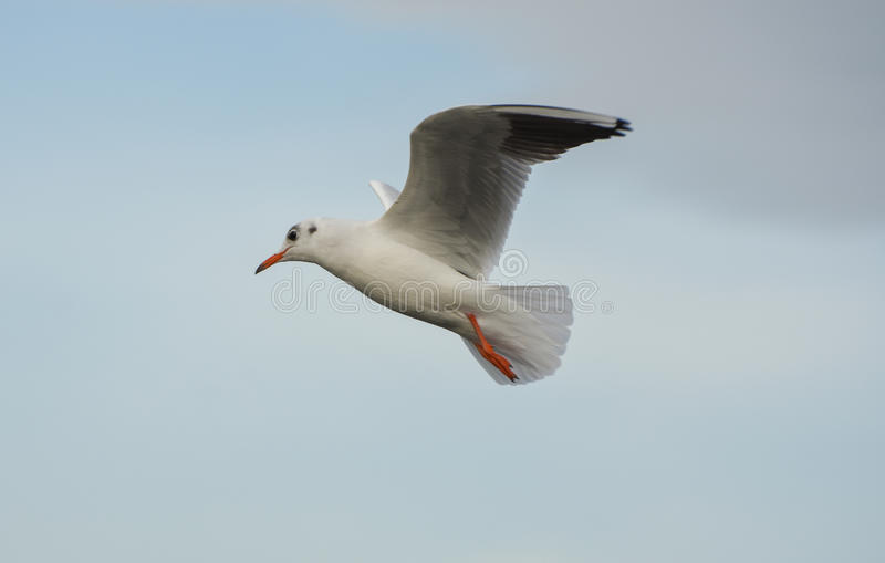 Download Seagull Flying With Open Wings Over Blue Sky. Stock Photo - Image: 83701876