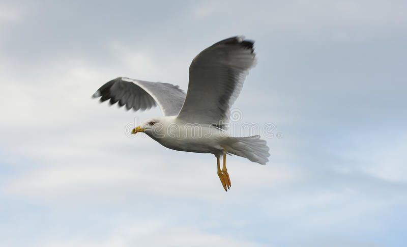 Download Seagull Flying With Open Wings Over Sky With Clouds. Stock Photo - Image: 83701024