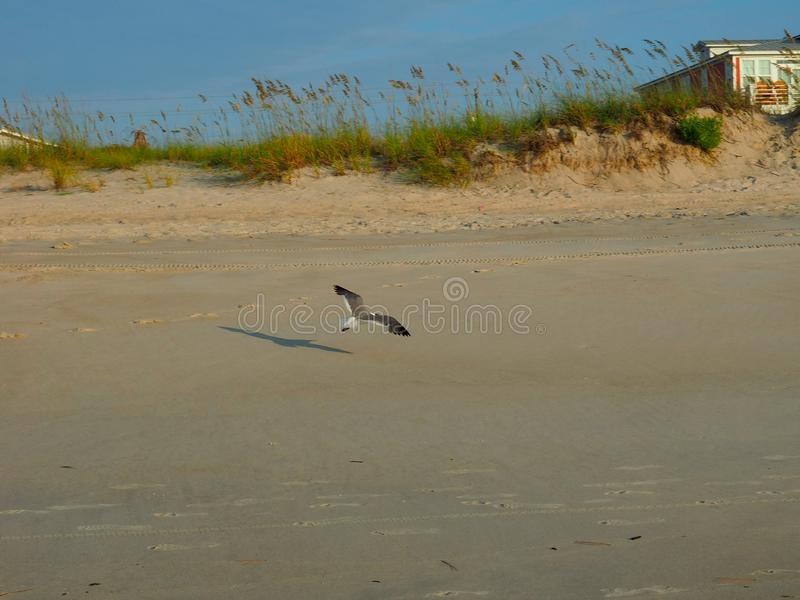 Seagull Flying over the Atlantic Coastline at Carolina Beach. A seagull bird flying over the Atlantic coastline shore in Carolina Beach, North Carolina stock photography