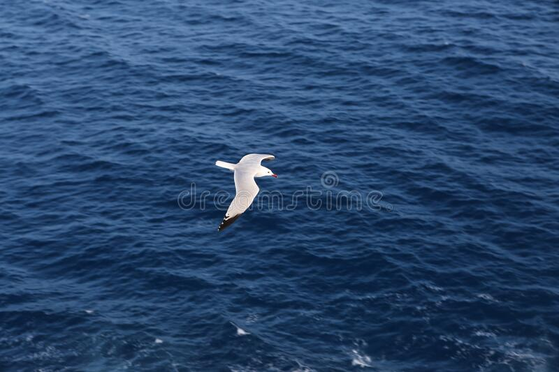 Seagull flying over blue ocean stock image