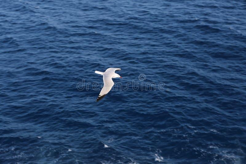 Seagull flying over blue ocean stock image