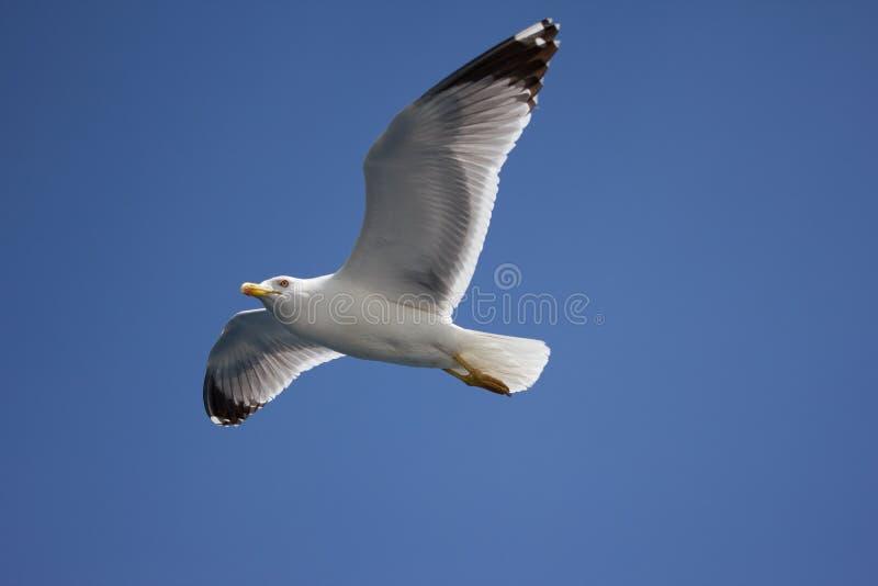 The Seagull flying over Croatia. stock photo