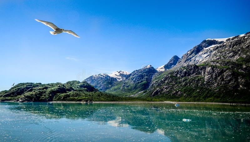 Seagull flying over Glacier Bay in Alaska stock photos