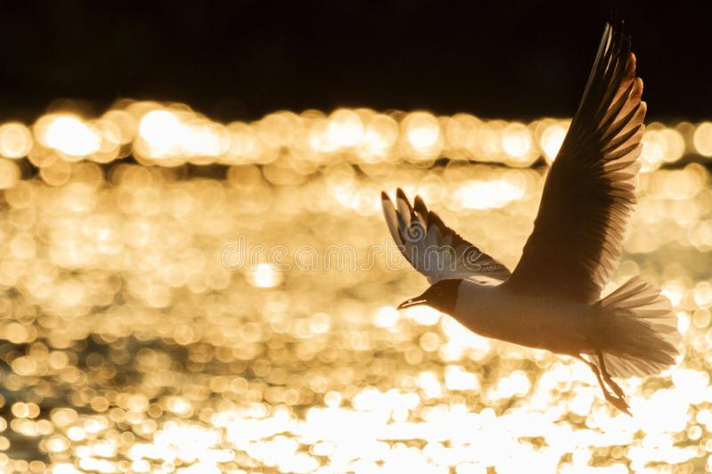 Seagull flying over the lakes in the evening light. Wildlife stock photography