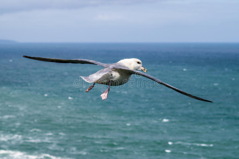 Seagull flying over the north sea royalty free stock photos
