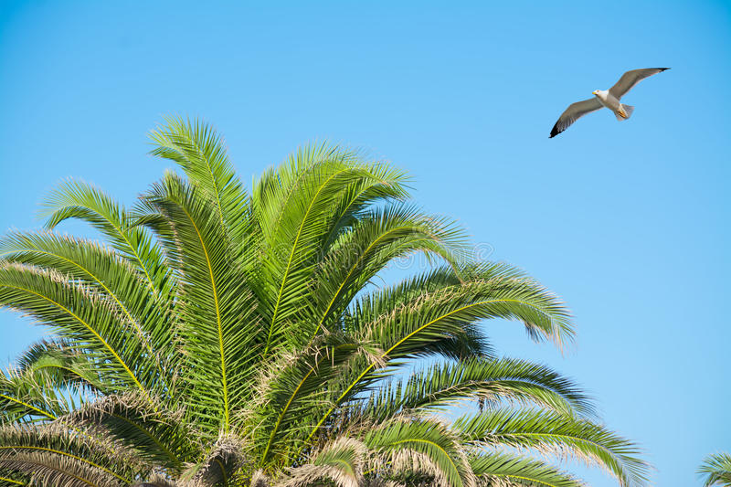 Seagull flying over a palm tree. On a clear day royalty free stock image