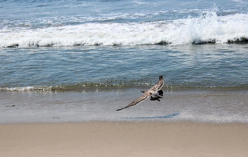 A seagull flying over the beach royalty free stock images