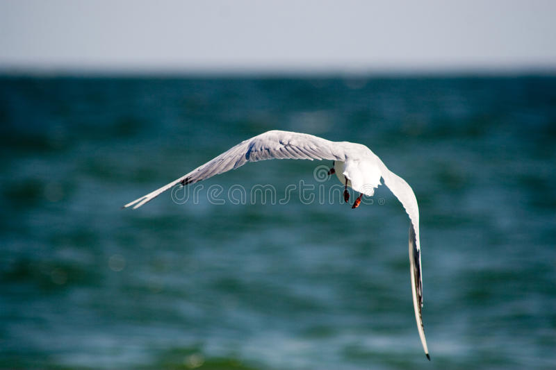 The seagull is flying over the sea royalty free stock images