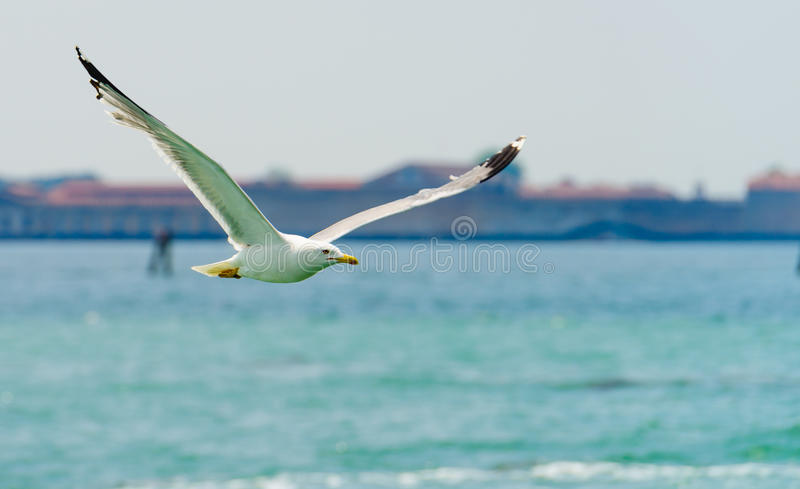 Seagull. The seagull is flying over the sea royalty free stock images