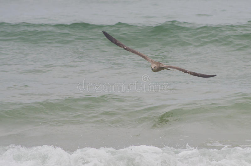 Seagull flying over the sea stock photos