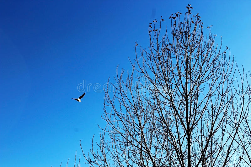 Seagull flying over a tree. A seagull is flying over a tree at Stanley park of Vancouver, Canada royalty free stock photography
