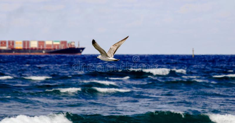 A seagull flying over the wavy water with a cargo ship at the background in Haifa, Israel. A seagull flying over the sea with a cargo ship at the background in royalty free stock image