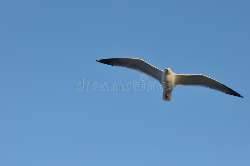 Seagull flying over your head. Alarming bird.  royalty free stock photo