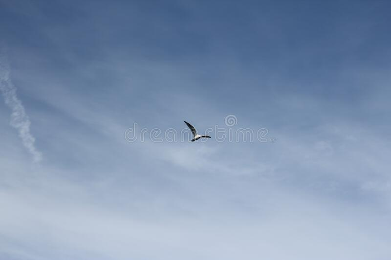 Seagull flying in pale blue sky royalty free stock images