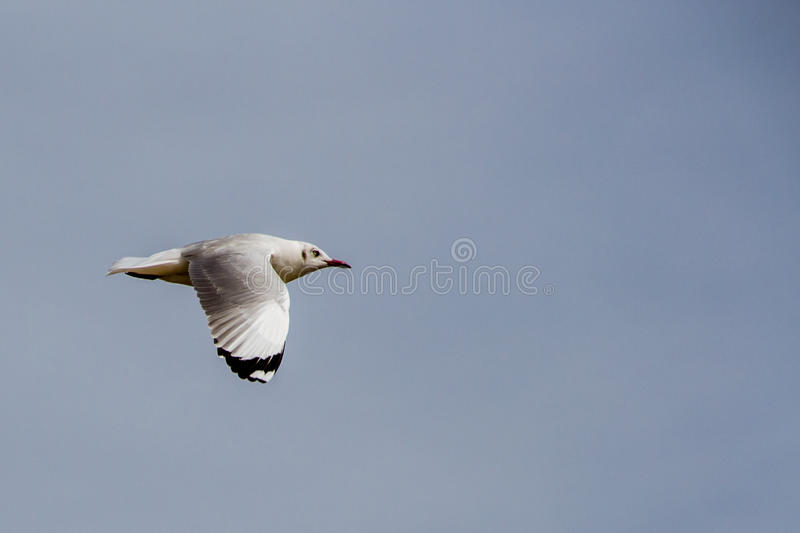 A seagull flying profile stock images