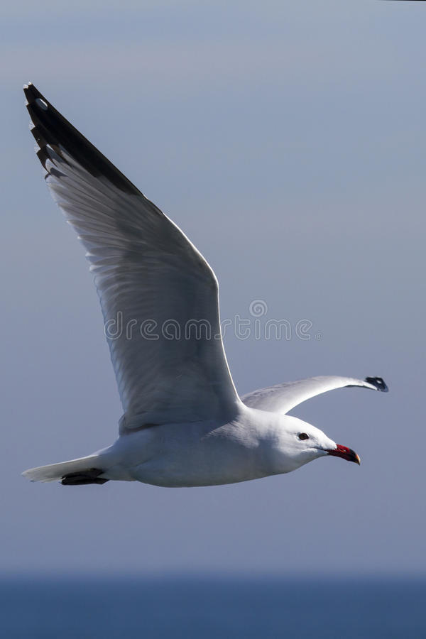 Seagull flying on the sea stock photos