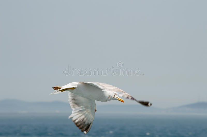 Seagull flying upon the sea. Seagull flying freely upon the sea stock images