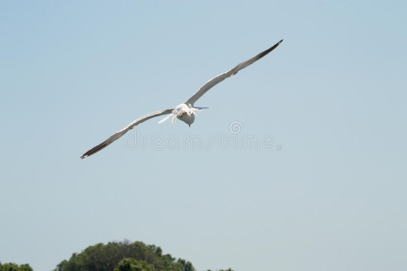 Seagull flying upon the sea. Seagull flying freely upon the sea royalty free stock photography