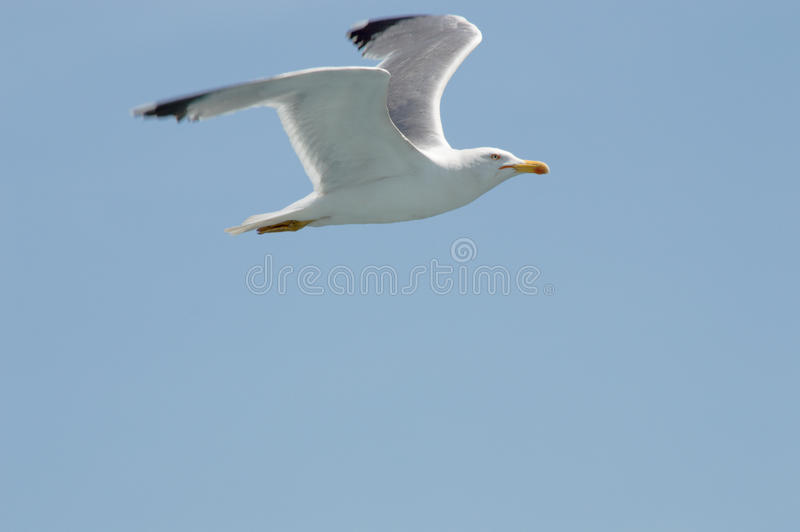 Seagull flying upon the sea. Seagull flying freely upon the sea royalty free stock photo