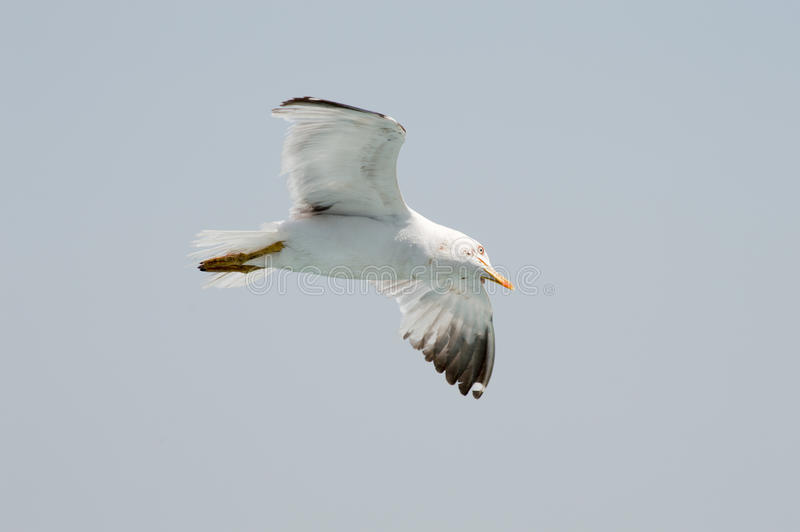 Seagull flying upon the sea. Seagull flying freely upon the sea stock photos
