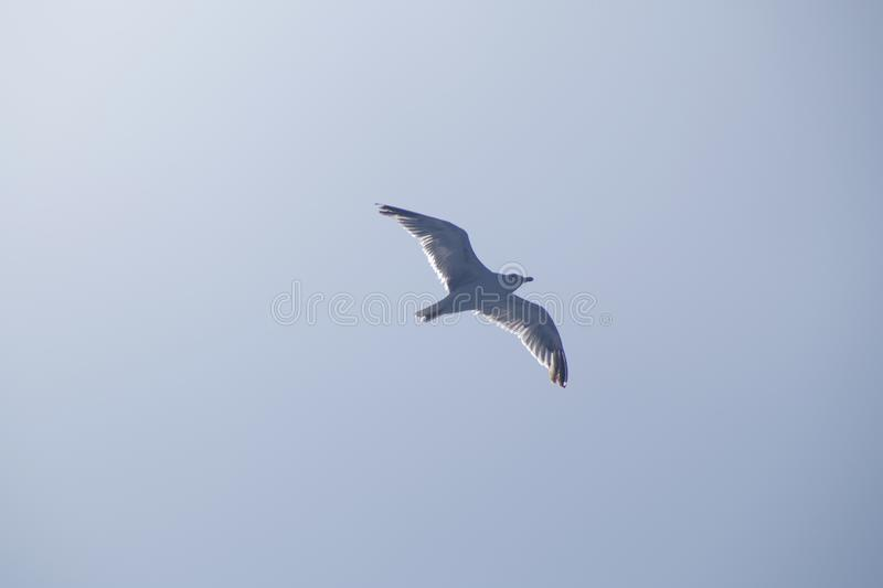 Seagull flying on the sea stock images