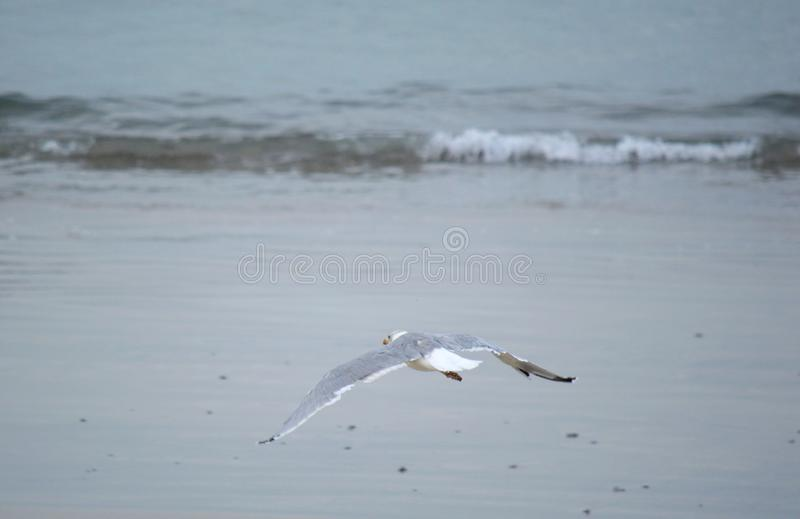 Seagull flying. By the shore on a gray day stock images