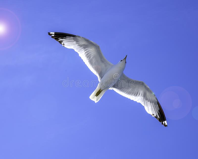 Seagull flying in the Sky. A seagull in the sky, clear sky, sunny weather, flight of a bird stock photography