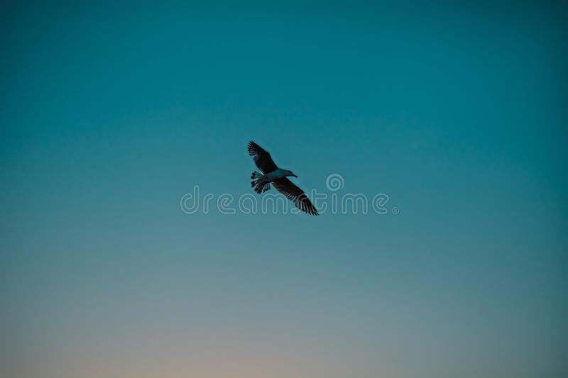 Seagull flying in the sky royalty free stock images