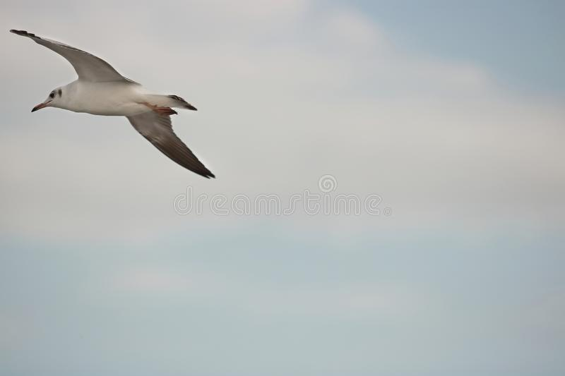 Seagull flying on the sky with copy space Science name is Charadriiformes Laridae . Selective focus and shallow depth of field. Seagull flying on the sky with royalty free stock image