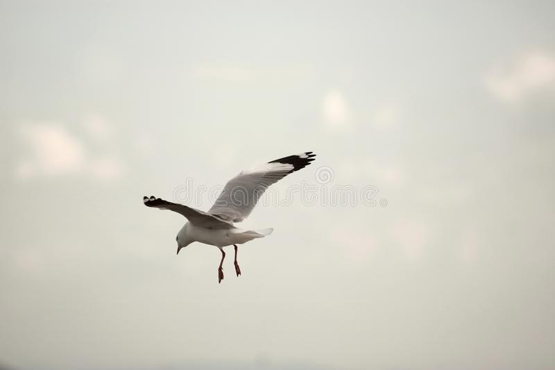 Seagull flying in the sky during sunset Science name is Charadriiformes Laridae . Selective focus and shallow depth of field. Seagull flying in the sky during royalty free stock images