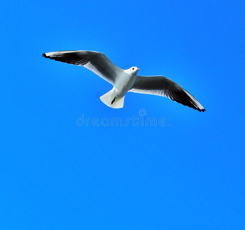 Seagull flying in the sky royalty free stock image