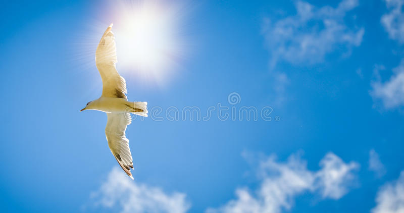 Seagull is flying and soaring in the blue sky with clouds. And sun behind royalty free stock photos
