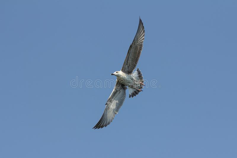 Seagull. Flying seagull on a summer day against clear blue sky royalty free stock photography