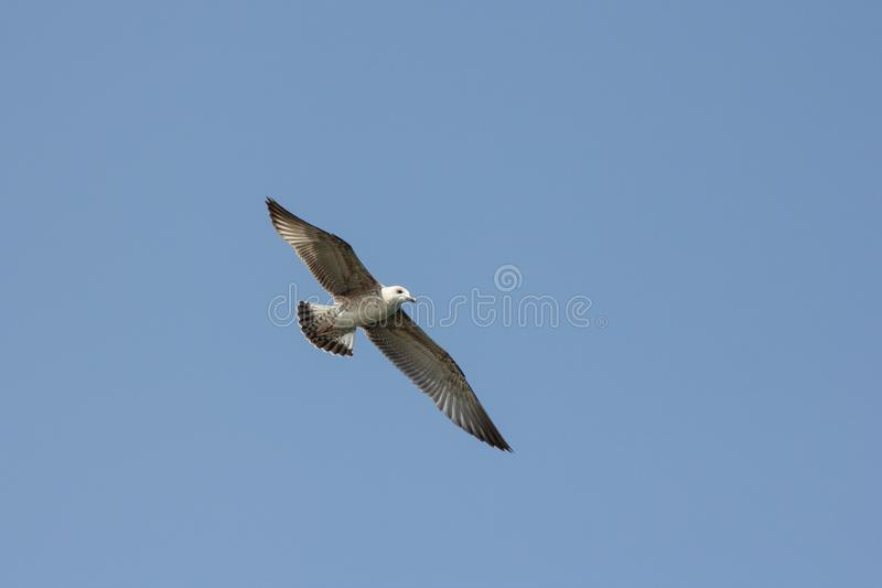Seagull. Flying seagull on a summer day against clear blue sky stock photos