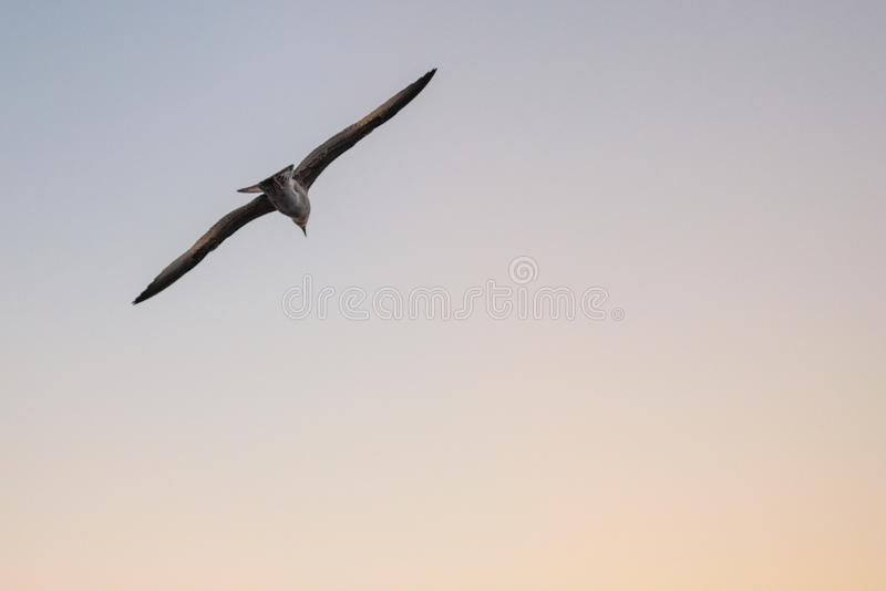 Seagull flying at sunset stock photos