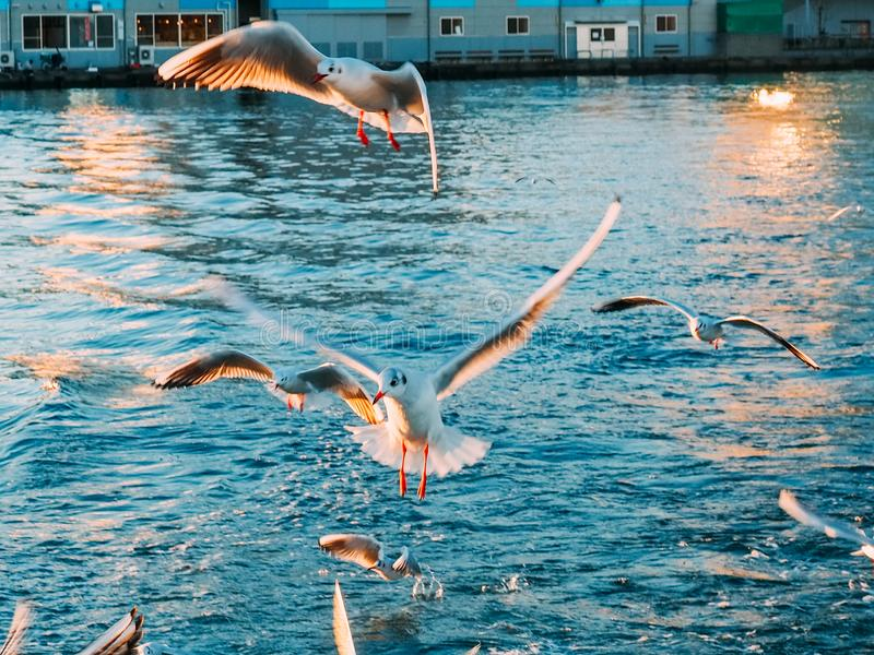 Seagull flying with sunset shadow. Seagull fly background on Dream Ferry Mini Cruise traveling from Hamanako Lake, Shizuoka, Japan with sunset sky. Abstract of royalty free stock photo
