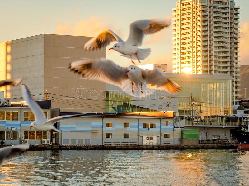 Seagull flying with sunset shadow. Seagull fly background on Dream Ferry Mini Cruise traveling from Hamanako Lake, Shizuoka, Japan with sunset sky. Abstract of stock image