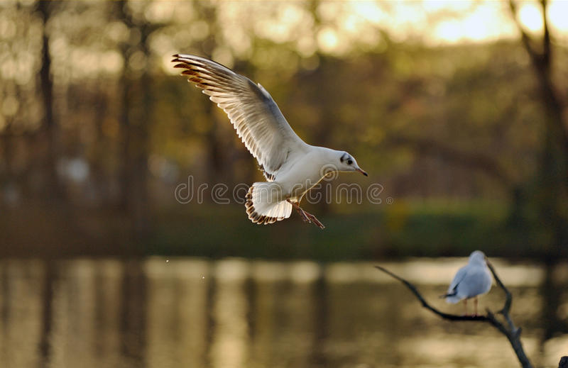 Seagull flying to a tree. With beautiful wings under the light of sunset stock image
