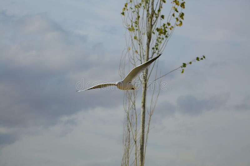 Seagull flying by tree stock images