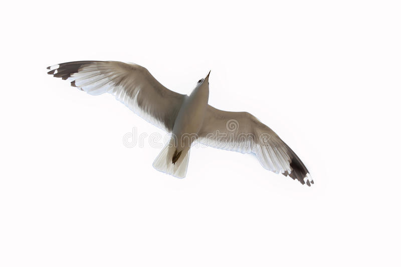 Seagull. A flying seagull on a white background stock images